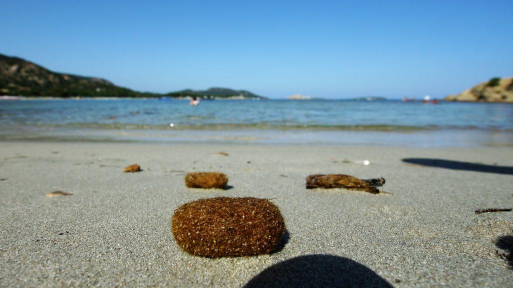 Meerestierbüschel am Sandstrand, Korsika