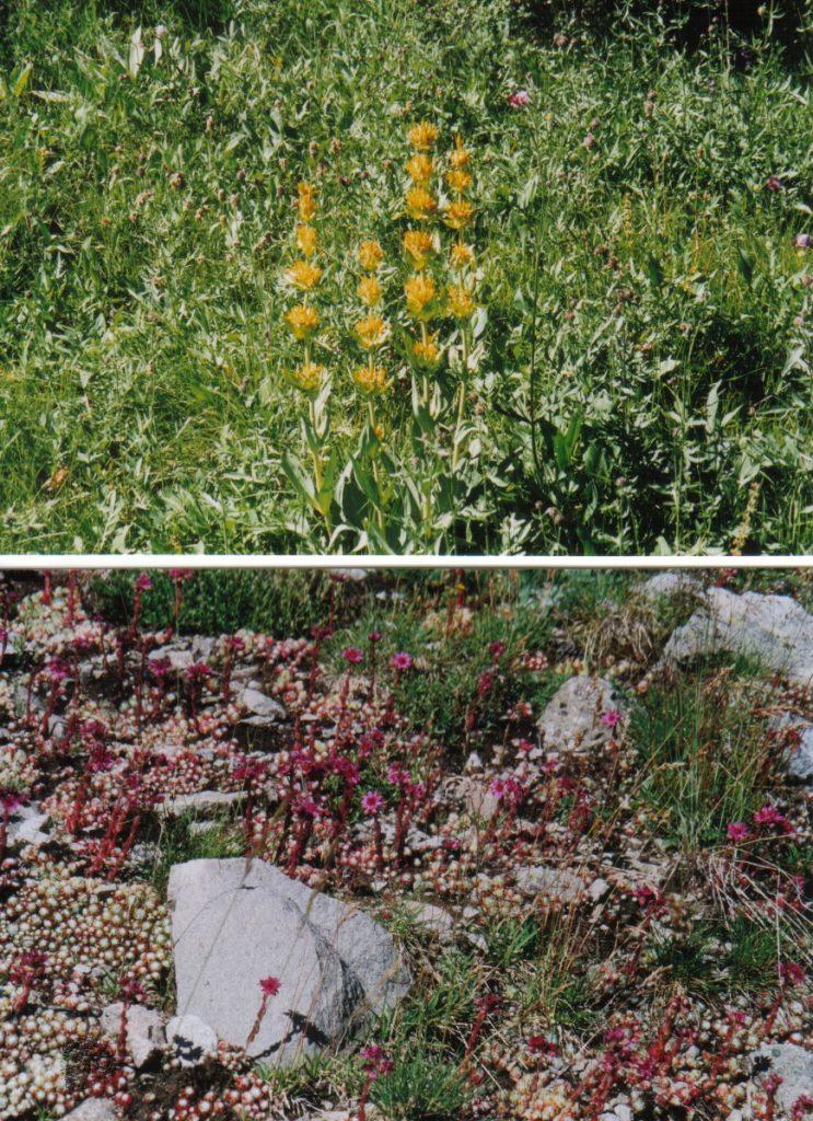 Alpenblumen gelb - rot
