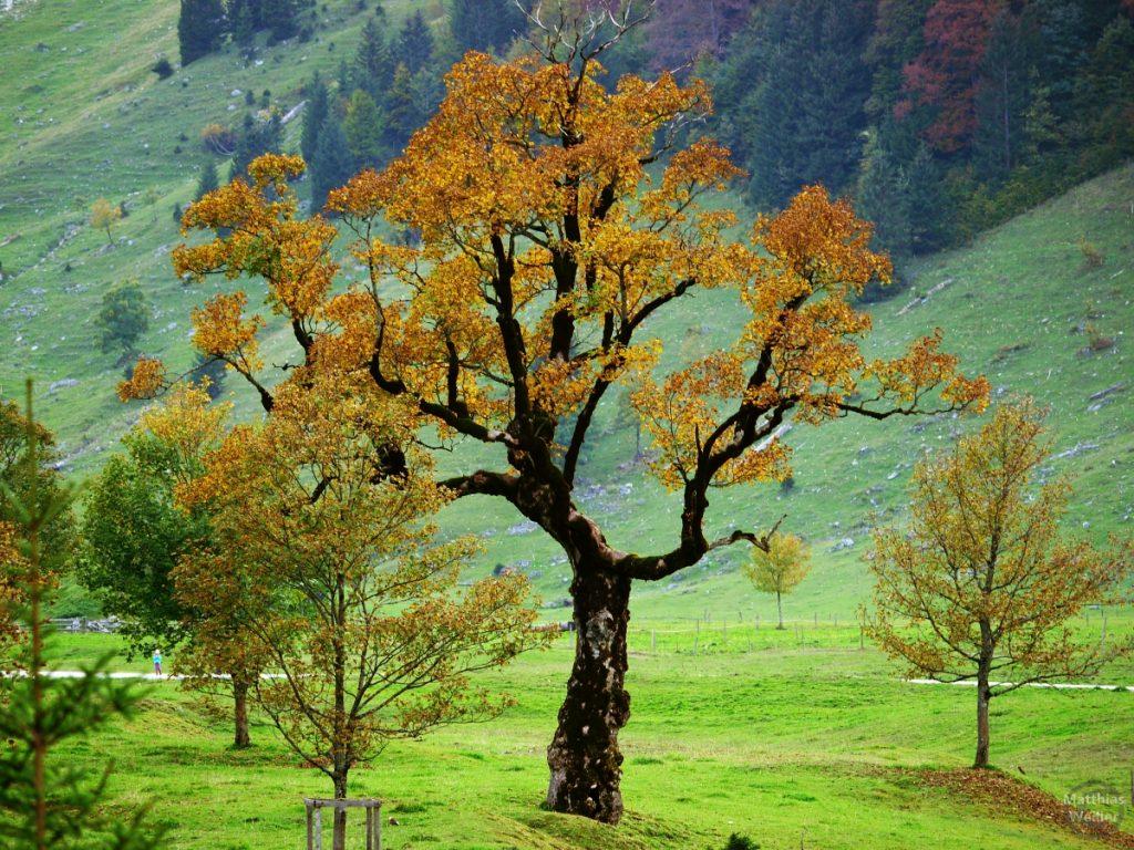 Ahornbaum im Kleine Ahorndone, dunkler Stamme, goldgelbes Blattwerk