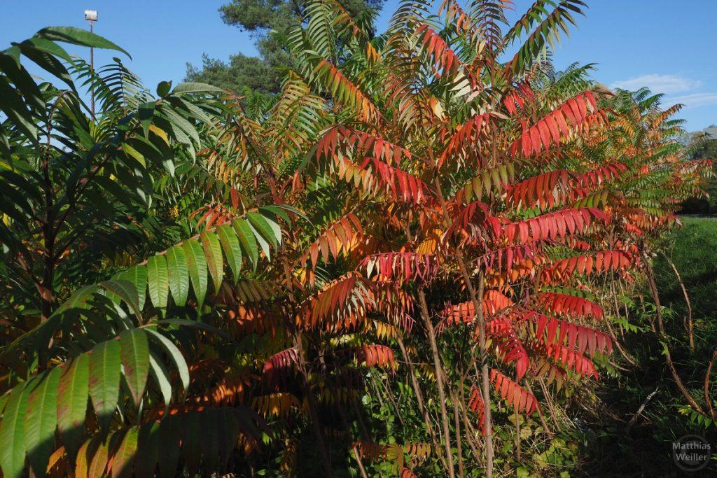 rot-grün Herbst von Esche