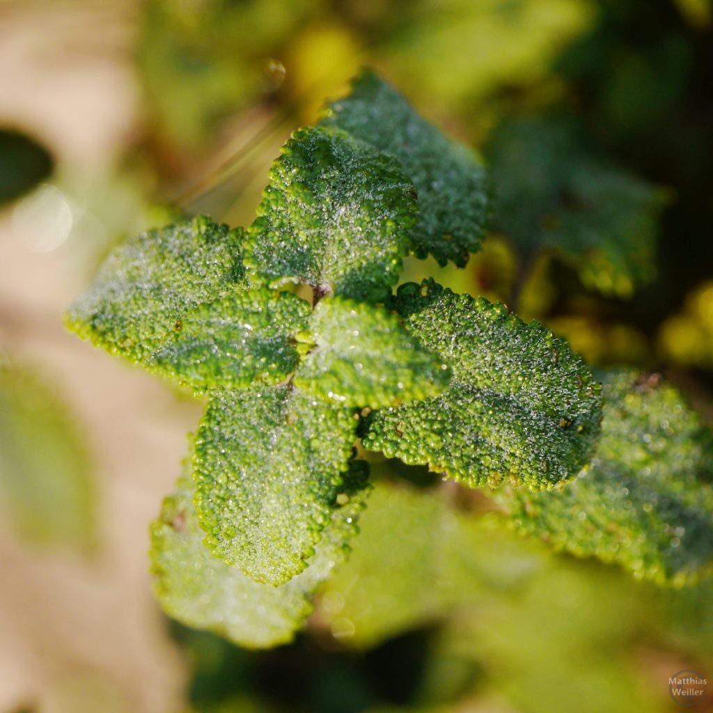 Morgenreif-kristalline minzähnliche Pflanze, Makroaufnahme
