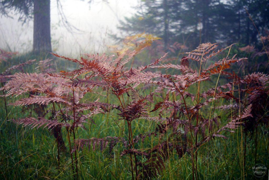 braun Farne im Herbstnebel