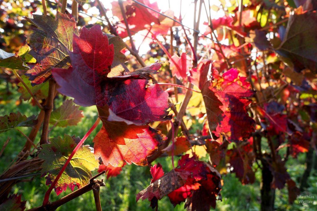 sonnengeflutete Weinblätter rot im Gegenlicht