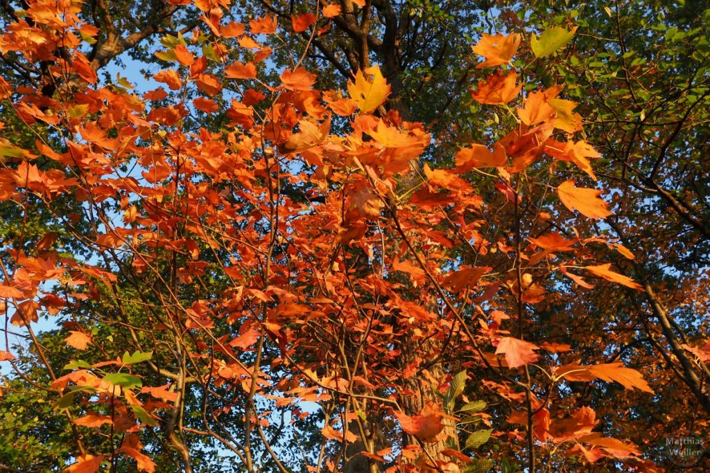 orange-farbenes Ahornblattwerk