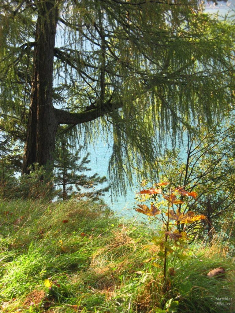 Lärche am herblichen Grasseeufer des Achensees