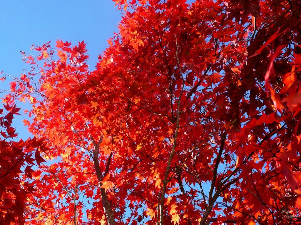 rotes Ahornlaub vor blauem Himmel