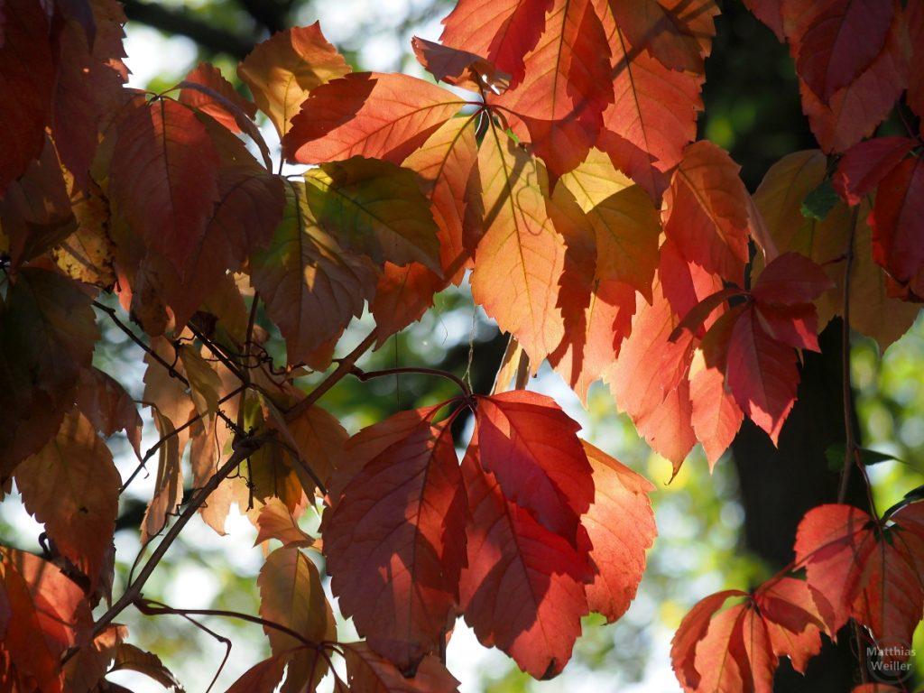 rote Eschenblätter
