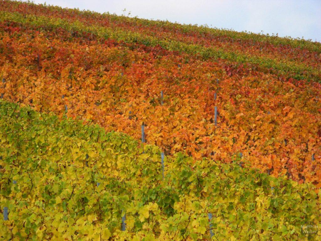 Herbsweinreben hellgrün-gelb-orange-rot
