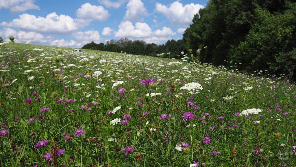 Blumenwiese lila/weiß/grün bei Zaberfeld