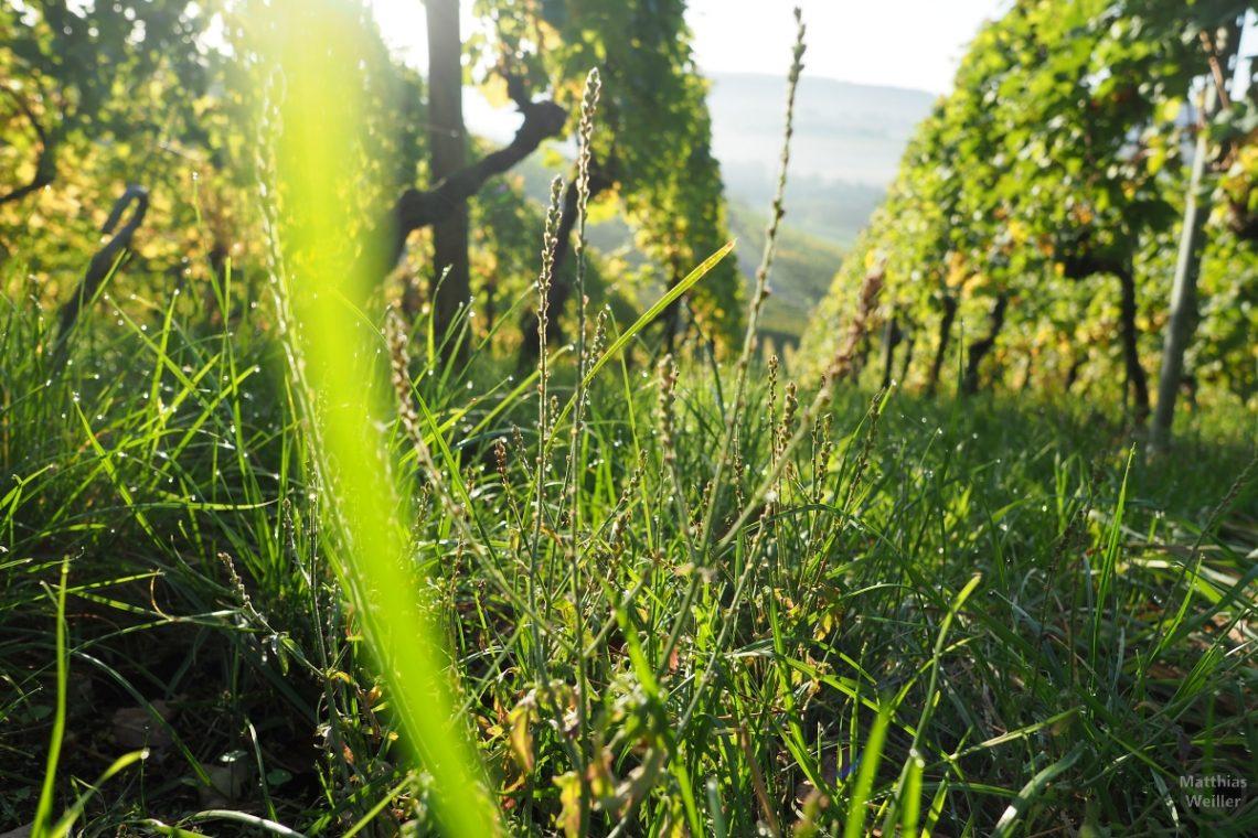 Gelgrüne Weinbergimpressionmit Lichteffekten am Gras