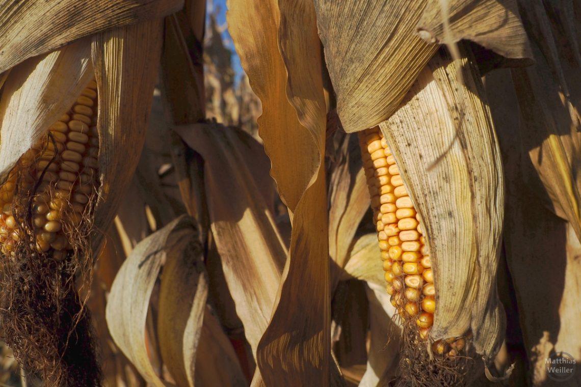 Maiskolben in Nahaufnahme mit braunen Faserhülsen
