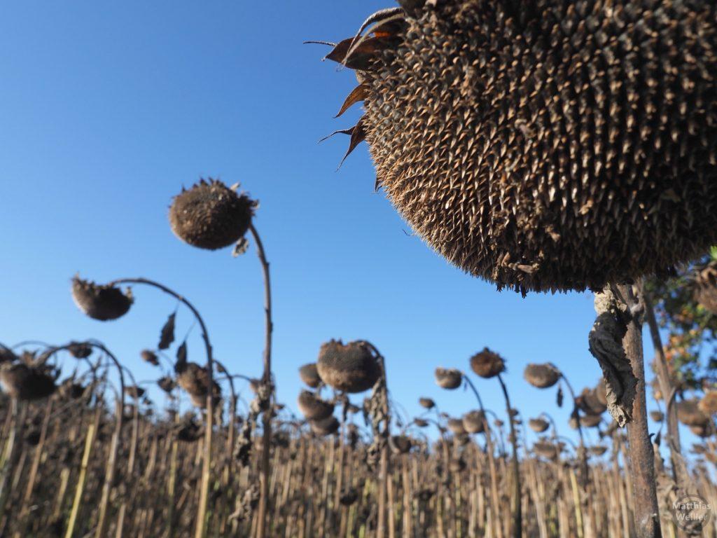 braune, ausgetrocknete Sonnenblumenköpfe