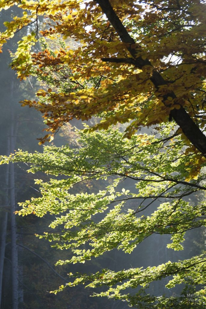 Farbkontraste gelb-hellgrün Herbstlaub