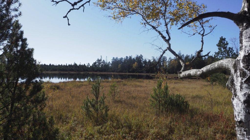 Herbst im Wildseemoor, Birke mit See