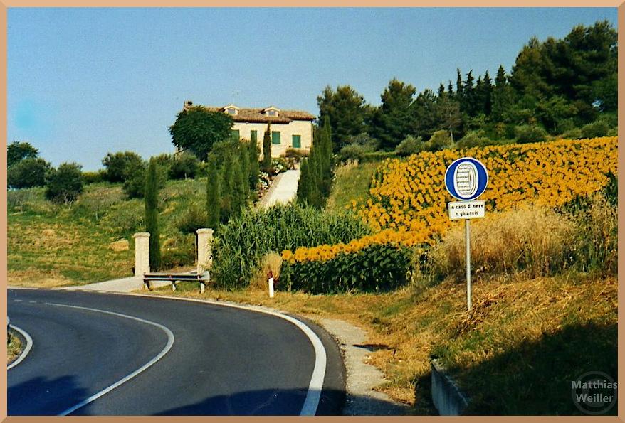 Sonnenblumen in Kurve mit Landvilla bei Recanati