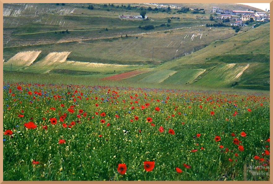 Klatschmohn und Kornblumen auf Grünwiesen des Piano Grande, Castelluccio am oberen Rand