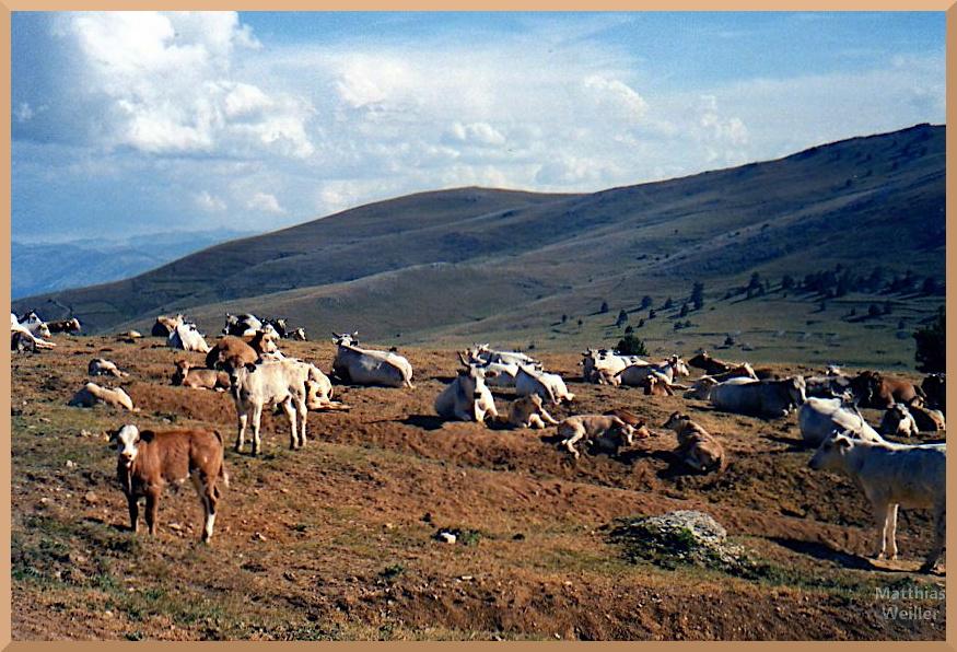 Viehherde weiß/braun auf Hochebene, Gran Sasso