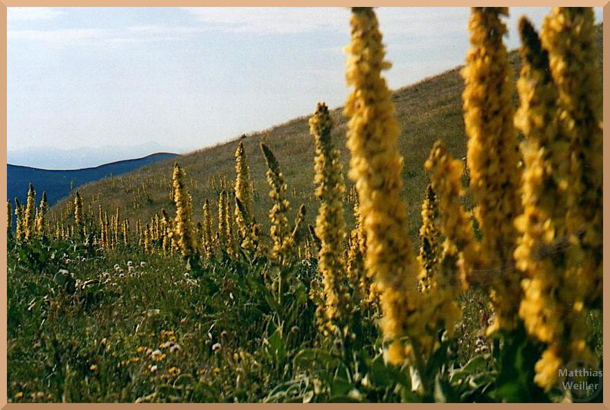 gelbe Rautenpflanzen aufgereiht auf grüner Bergwiese, Campo Imperatore