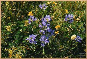 blaue & gelbe Blumen, Nahaufnahme, Campo Imperatore