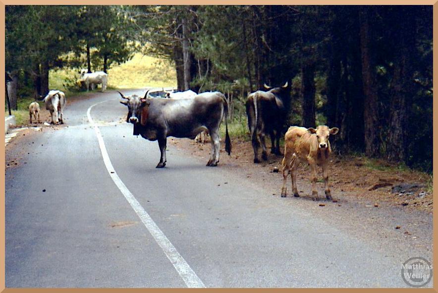 stark gehörnte Kühe auf Straße im Silagebirge, dunkelgrau, Kalb hellbraun