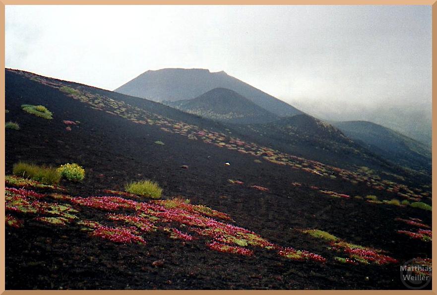 Schwarze Lavahänge mit rosa/hellgrün Blumenrosetten, Ätna im Hintergrund