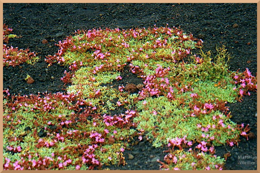 Rosa/hellgrün Blumenrosetten in schwarzer Lava