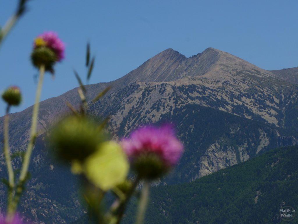 Pic de Canigou, Distelblüte im Vordergrund weichgezeichnet