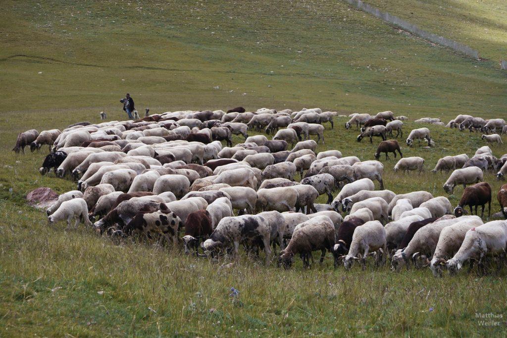Schafherde, Ostpyrenäen