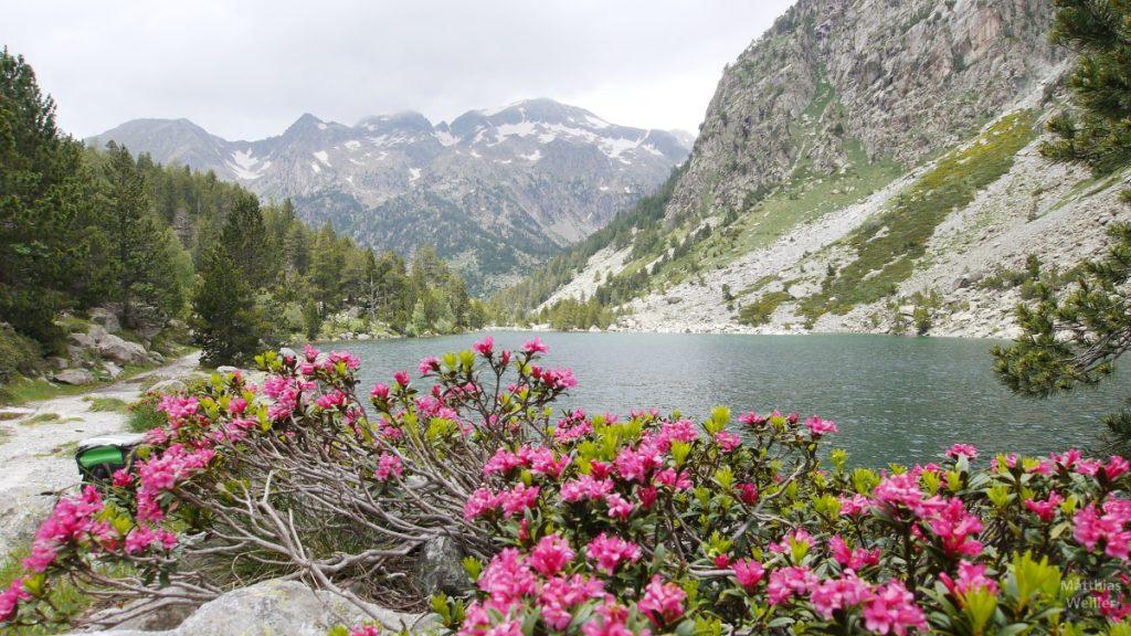Alpenrosen mit See und Bergkulisse, Aigües Tortes