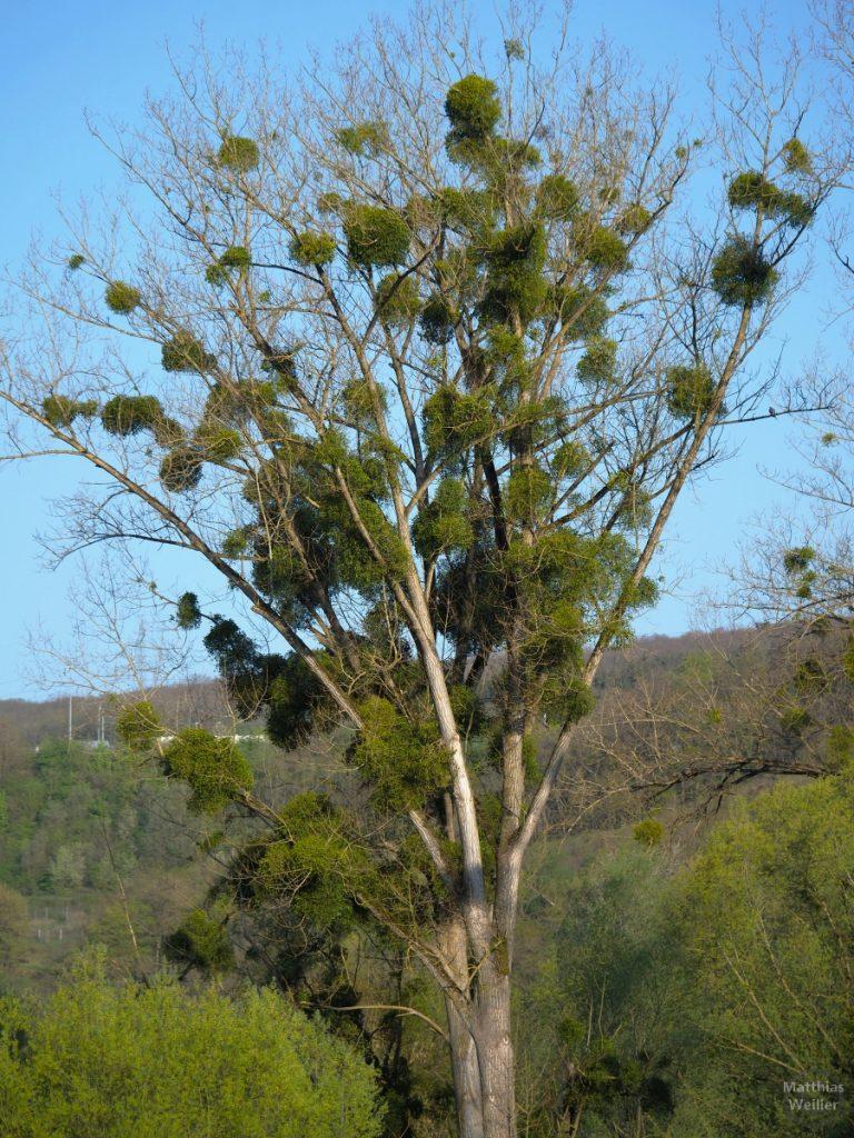 Mistelbaum, trichterförmig öffnend, vertikal
