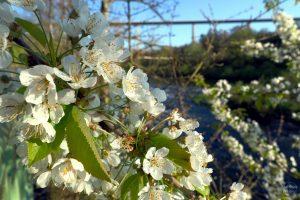 Kirschblüte Nahaufnahme mit Autobahnbrücke und Sauer im Hintergrund weichgezeichnet