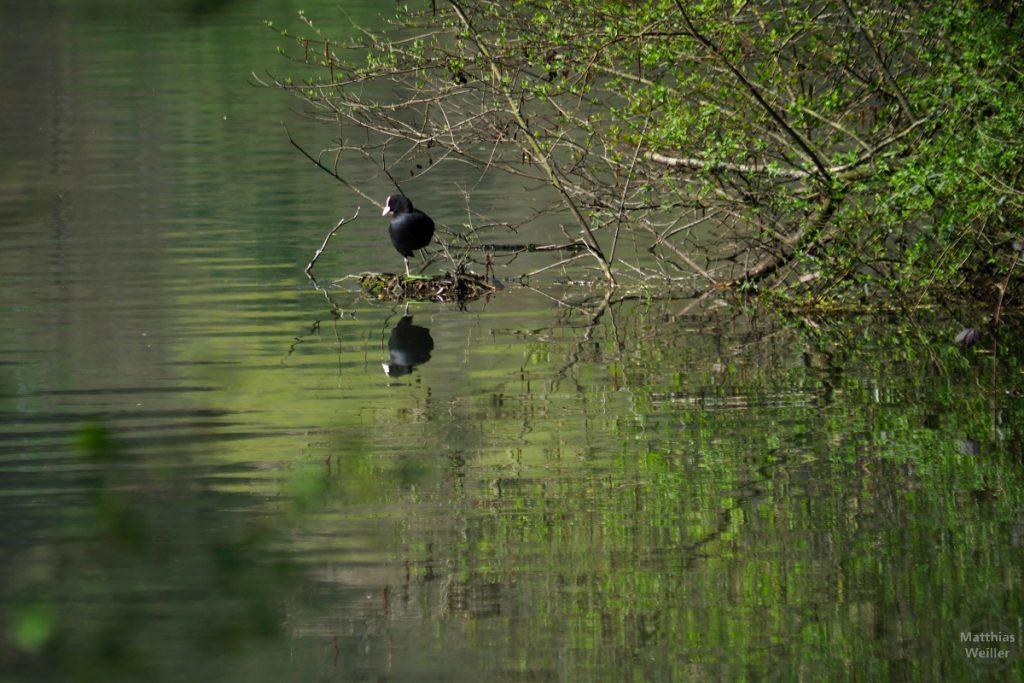 Blessralle gespiegelt im See