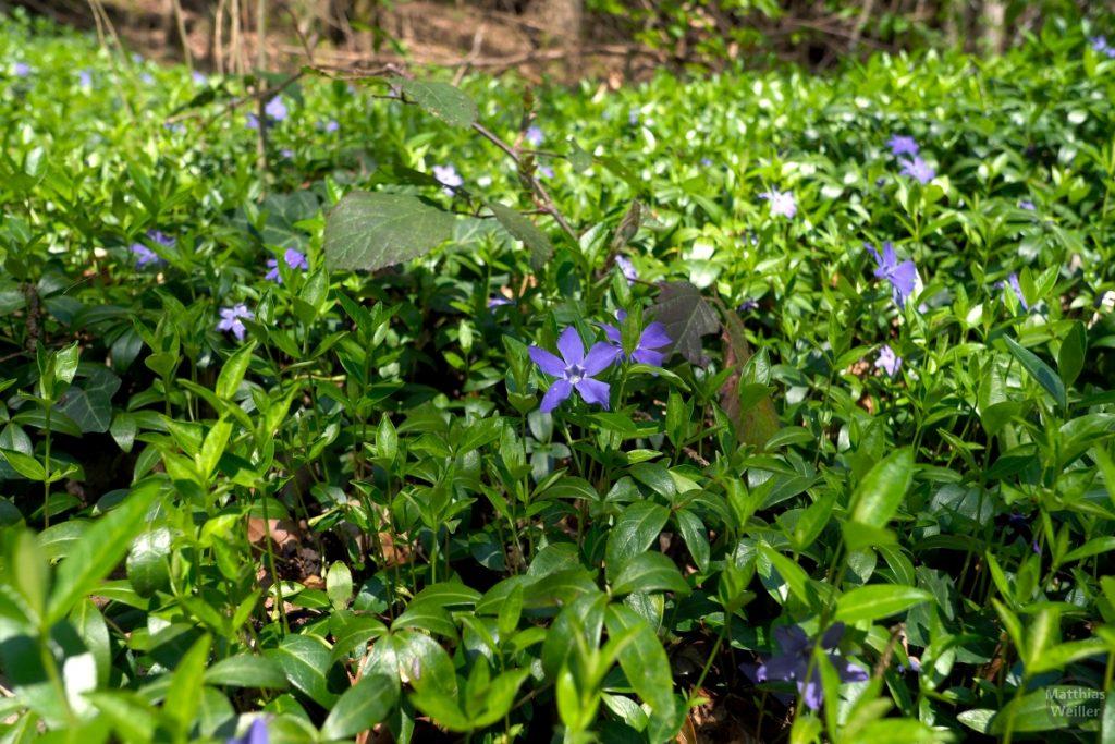Blaue Sternblüten in grünem Bodenblattwerk
