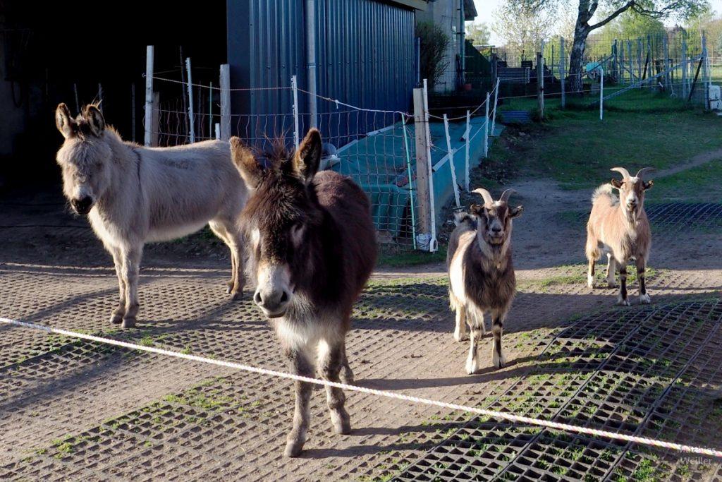 2 Ponys und Ziegen