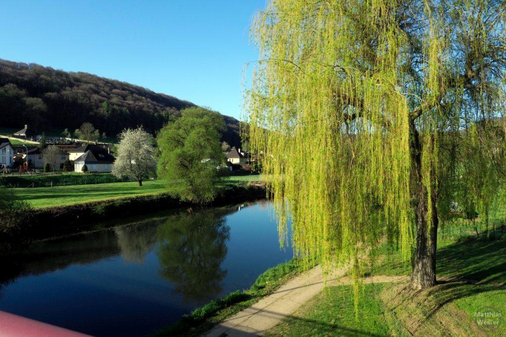 hellgrüne Trauerweide an Sauerufer, Reisdorf
