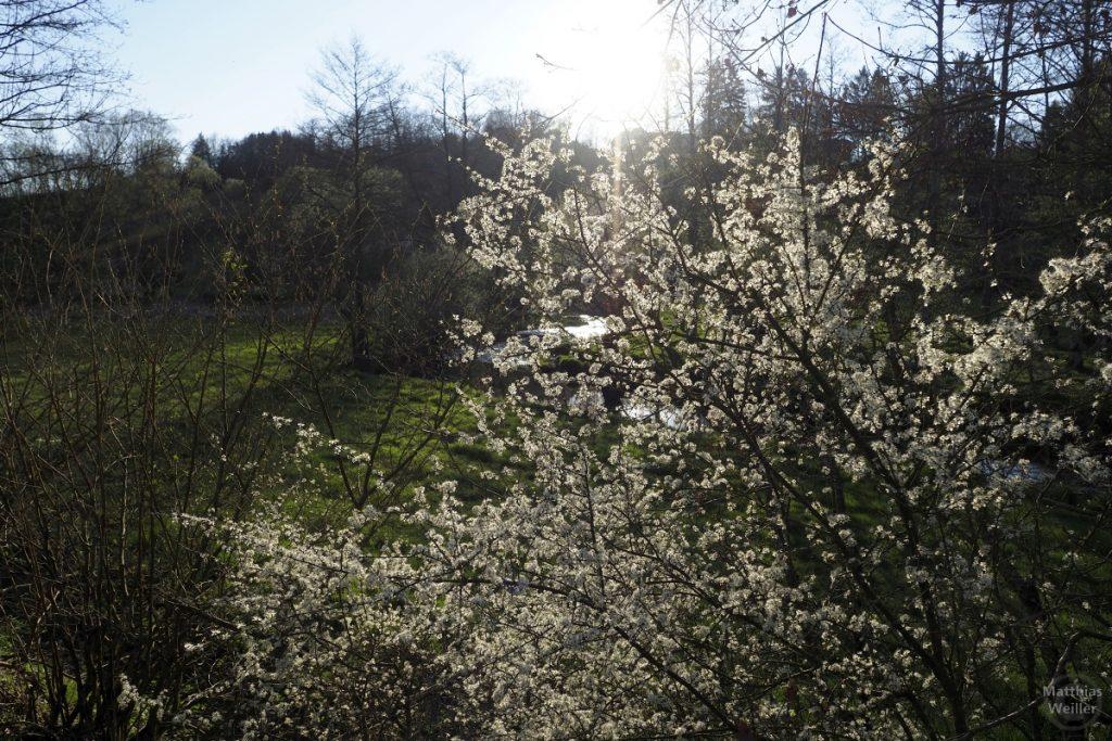 durch Blütenbaum scheinende Sonne im Gegenlicht