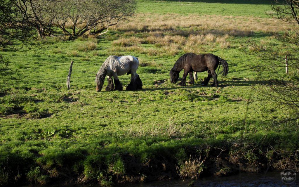 langhaarige Ponypferde auf grüner Weide am Ufer der Clerve