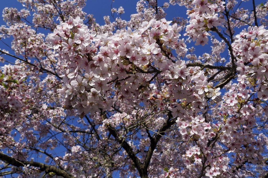 rosa-weiße Blütenpracht vor dunkelblauem Himmel