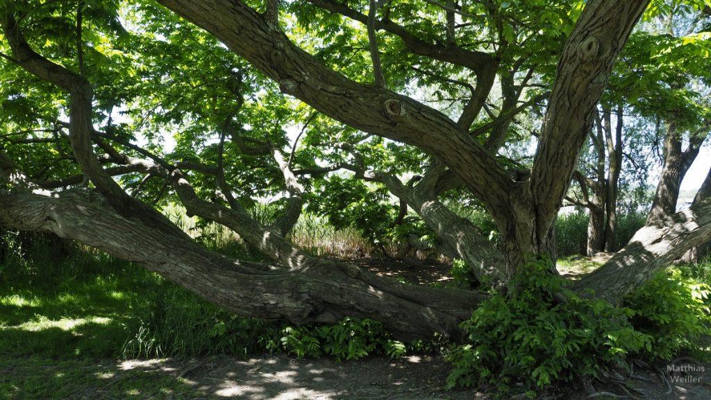 Breit entwachsener Baum am Seeufer