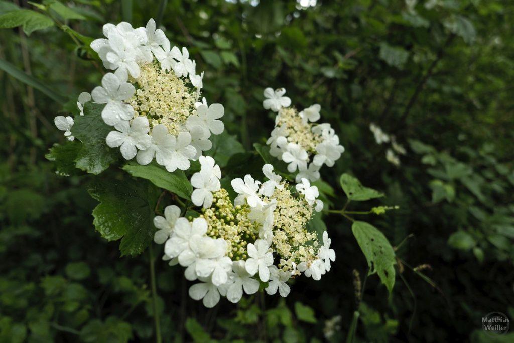 Weiße Blütenrosetten am Türlersee