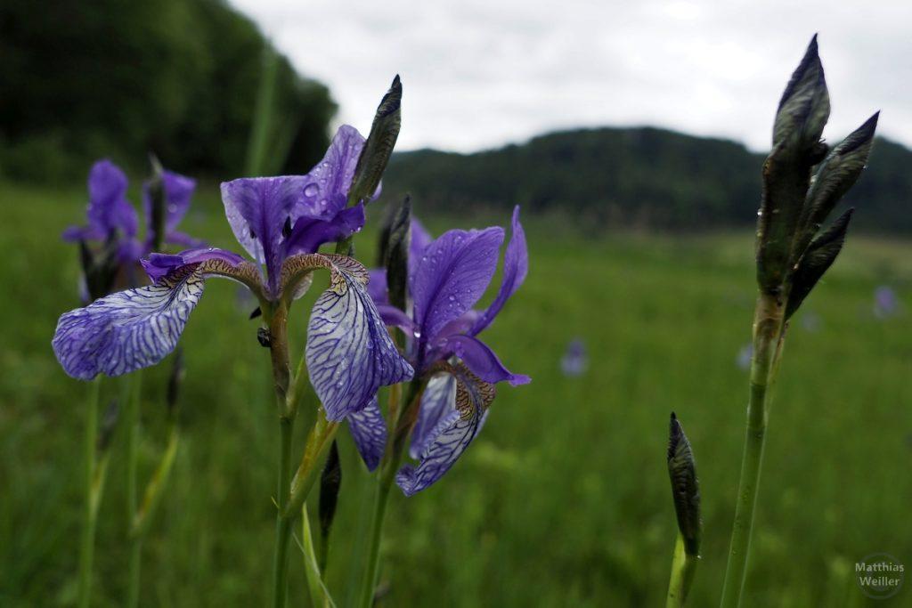 Blaue Lilien am Türlersee mit Regentropen