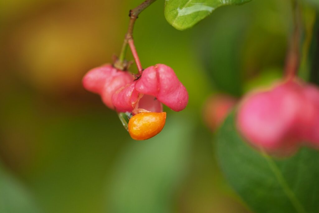 Rose-Ornage-Frucht in Nahaufname