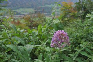 Violetter Blütenbüschel, Hintergrund weichgezeichnet