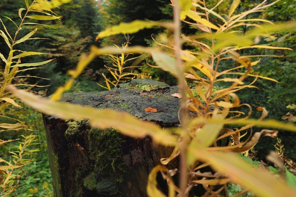 Bemooster Baumstumpf mit gelben Herbstblättern umher