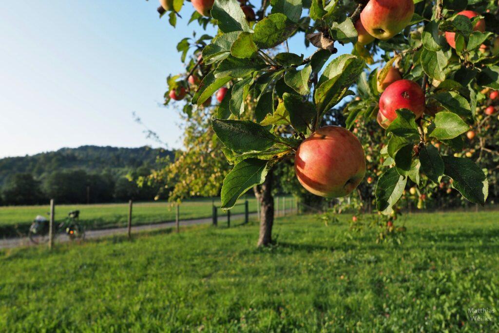 Nahaufnahme von ein paar Äpfeln mit Blick auf Wiese, Zaun, Weg und Velo