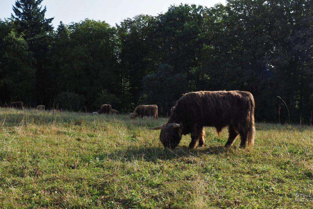 zottelige Rinderrasse beim Grasen