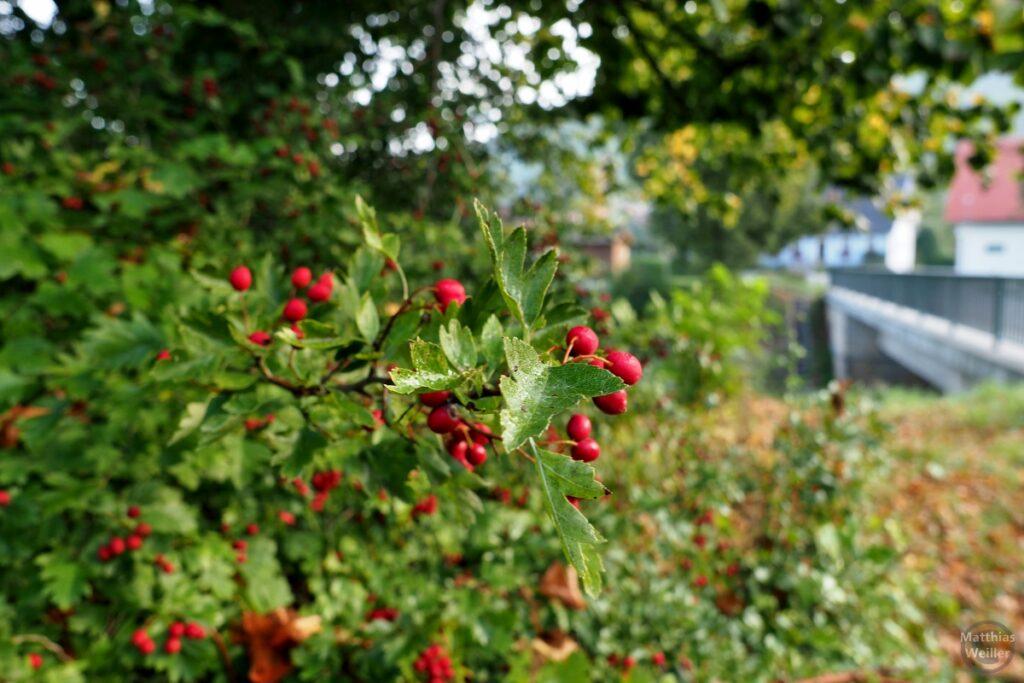Nahaufnahme Busch mit roten Fruchtkörpern
