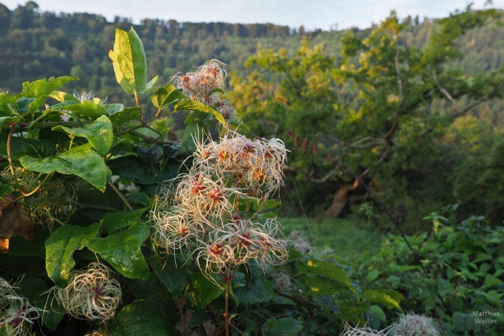 Nahaufnahme von fädigen Buschfrüchten