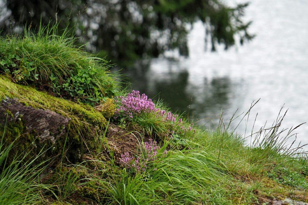 Heidekraut mit Seeansatz im Hintergrund