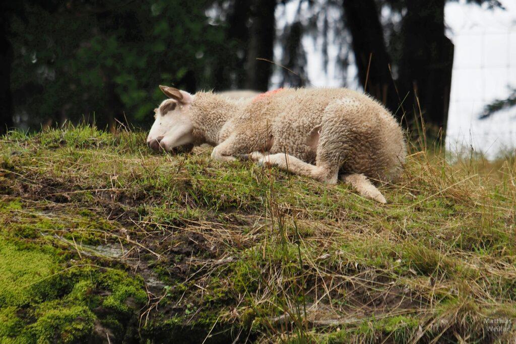 Schlafendes Jungschaf